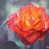Роза :: Татьяна Гайдамака