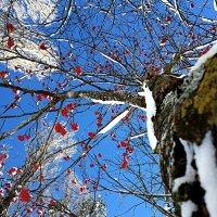 Зимняя рябина :: Yarik Minakin