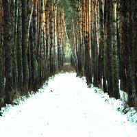 сосновый лес :: Артем Тимофеев