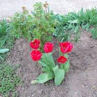 первые тюльпаны... :: Просто witamin