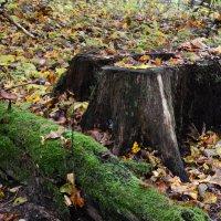 Stub in the forest :: Дмитрий Каминский