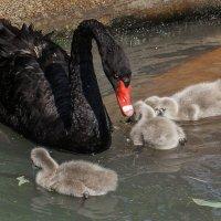 Лебединая семья :: Татьяна Симонова