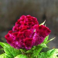 Цветок из гребешков :: Владимир Кроливец