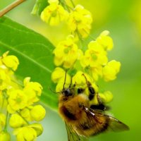 Пчела :: ЛЕВ Барамович