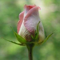 Я стану розой! :: Сергей Борденов