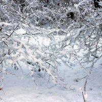Снежные хлопья на ветке :: Юрий Стародубцев