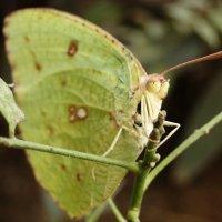 Бабочка :: Оксана Шрикантх