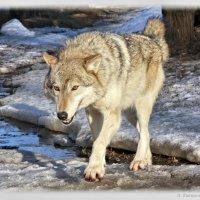Волк :: Alla Potulova