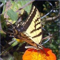 мир бабочек :: Svetlana Plasentsiia