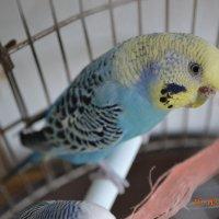 мой попугай :: Юлия Каленюк