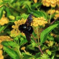 чёрная пчела - (о.Крит) :: Борис Иванов