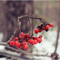 Красная красавица... :: Ириска Жукова