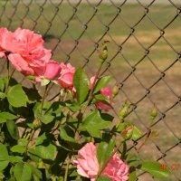 Красавицы розы :: Юлия Каленюк