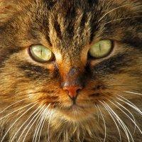 храмовый кот :: Наталья