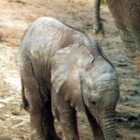 Слонёнок :: Игорь Герман