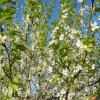 Яблоня в цвету! :: Ираида Мишурко