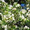 Ранетка вся в цвету пчёлам на радость... ) :: Любовь К.