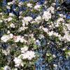 Мои  60-летние яблони всё  ещё в  цвету ! :: Виталий Селиванов