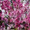Буйство весеннего цветения :: Нина Бутко