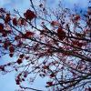Рябиновая Осень :: Татьяна Котельникова