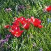 Первые тюльпаны :: Aнна Зарубина