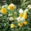Жёлтые и белые :: Дмитрий Никитин