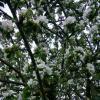 Старая яблоня :: Ольга