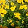 Жёлтые ромашки :: Наталья Цыганова