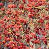 Боярыня рябина рубинами горит.... :: Galina Leskova