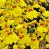 Солнечный танец орхидей :: Aida10