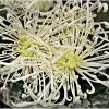 Букет хризантем. :: Валерия Комова
