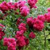 Плетистая роза :: Надежд@ Шавенкова
