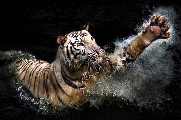 Потрясающие фотографии тигров