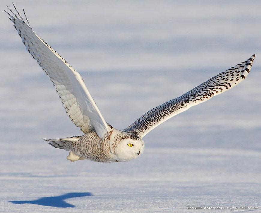 хищных птиц в полете