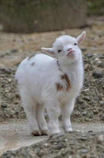 Фото козлят