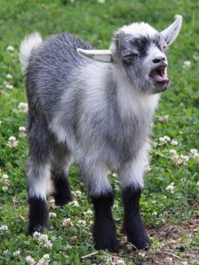 фото маленьких козлят