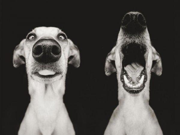фотографии больших собак черно-белые