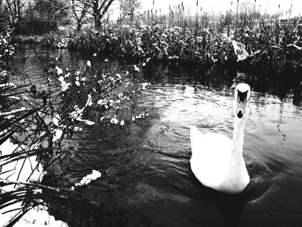 Цветная фотография или черно-белая – лебедь в ч/б