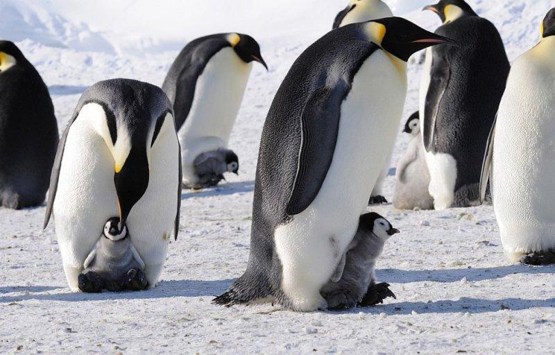 Фото Антарктиды 11 Фото National Science Foundation   Dr. Paul Ponganis