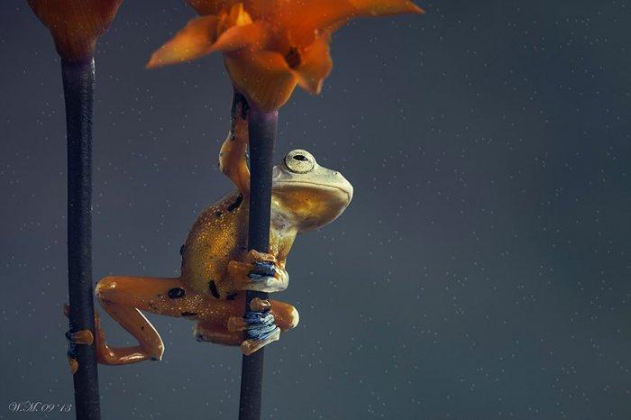 Заманчивый мир лягушек в макрофотографии Уила Мийера - №2