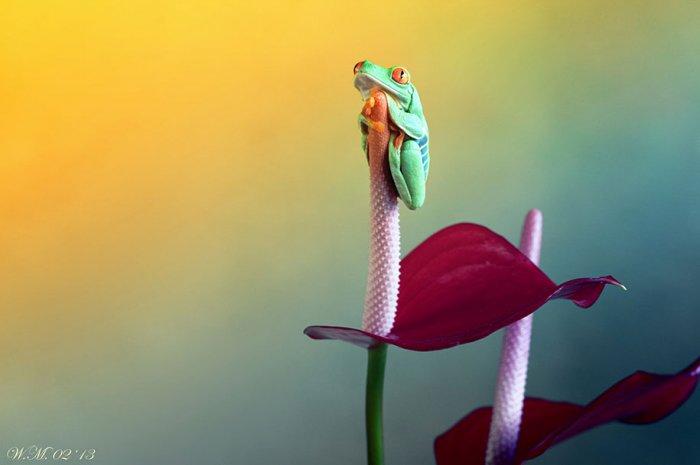 Заманчивый мир лягушек в макрофотографии Уила Мийера - №5