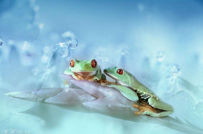Заманчивый мир лягушек в макрофотографии Уила Мийера - №9