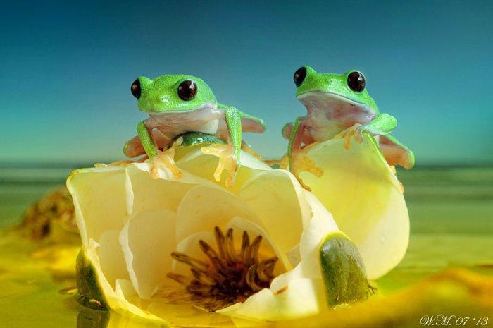 Заманчивый мир лягушек в макрофотографии Уила Мийера - №14