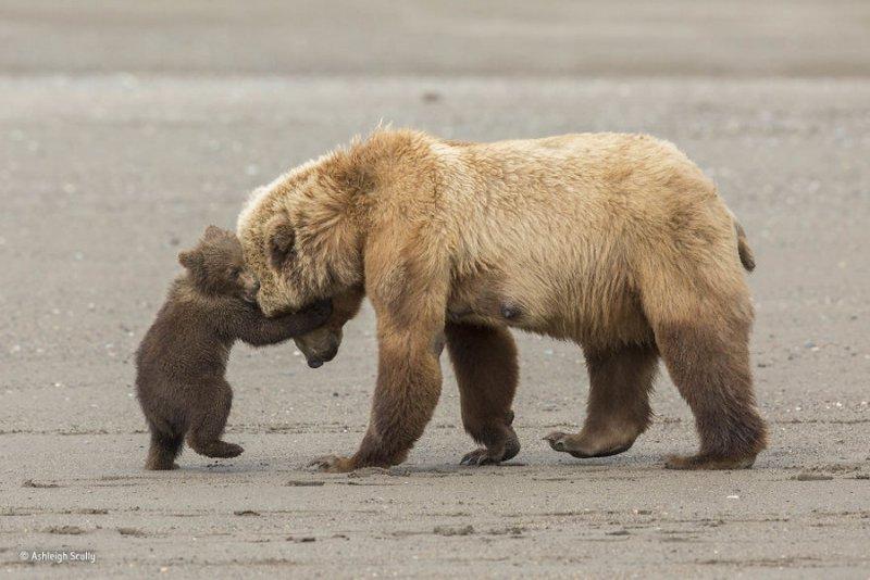 Автор фото: Эшли Скалли. «Медвежье объятие»