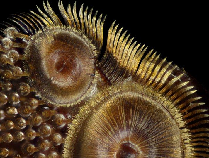 Присоски жука-плавунца (Dytiscus sp.), передняя нога в 50x увеличении