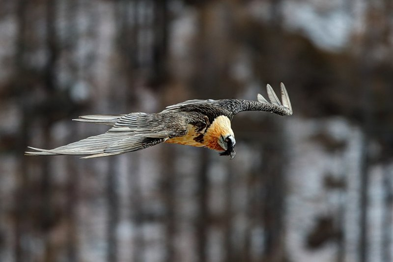 Бородач, единственная известная птица, чей рацион состоит преимущественно из костей, в полёте над Гран-Парадизо, старейшим национальным парком Италии. Автор фото: Лука Казале.