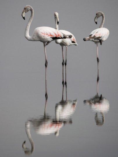 Фламинго на Тунисском озере.  Автор фото: Эль Голли Мохамед.