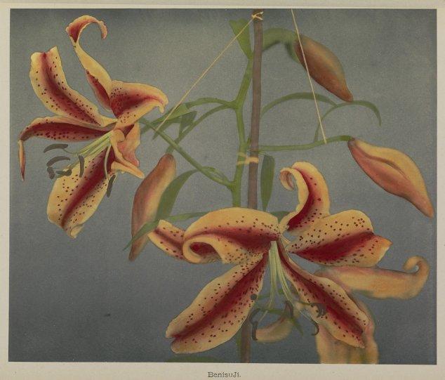 Японские цветы Огавы Кадзумасы - №5