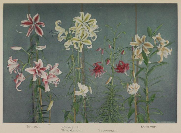 Японские цветы Огавы Кадзумасы - №7
