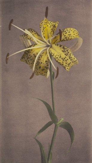 Японские цветы Огавы Кадзумасы - №9